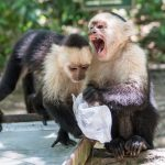 Fairness is innate, even for capuchin monkeys